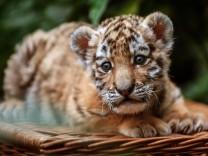 Tigerbaby im Tierpark Berlin vorgestellt