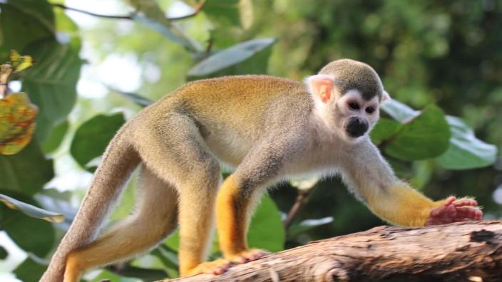Primaten in Südamerika - Äffchen auf großer Fahrt - Wissen