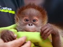 Erster öffentlicher Auftritt für Orang-Utan-Mädchen Rieke