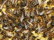 Bienen, ddp