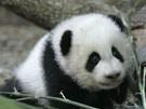 Baby-Boom bei Pandas (Bild)