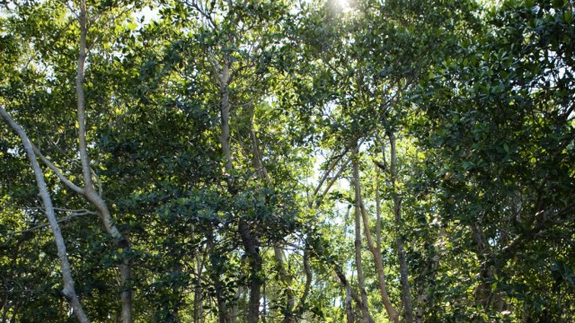 Mangrove forest in the Florida Everglades.