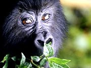 Berggorillas - Raus aus dem Nebel: Die mit Dian Fossey berühmt gewordenen Menschenaffen sind zu einer Wirtschaftsgröße in ihren Heimatländern geworden. Foto: laif