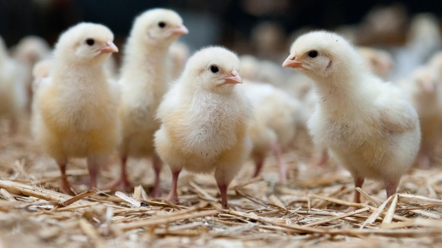 Hühnerküken-Sortierer
