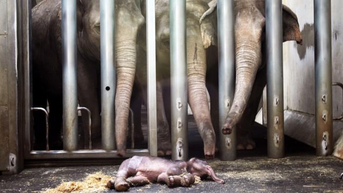 Trauer um Elefanten-Baby im Leipziger Zoo - Panorama