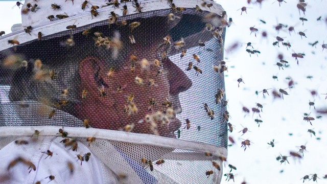 Italian honey bees hover around the suit of beekeeper Robert Harvey as he transfers bee colonies from a blueberry field near Columbia Falls, Maine