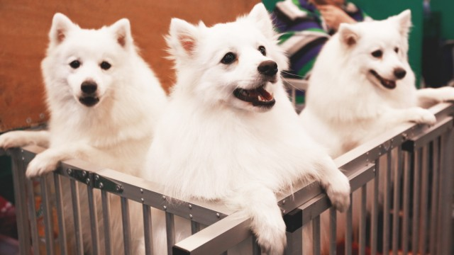File photo of Japanese Spitz looking out from their pen during the last day of the Crufts Dog Show in Birmingham; File photo of Japanese Spitz