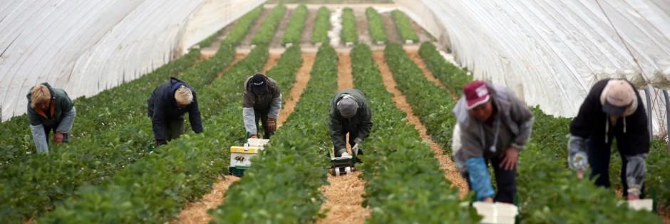 Erste Erdbeeren auf Karls Erdbeerhof