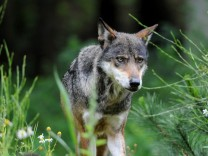 Wolf im Wildpark Eekholt