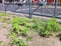 Cannabis-Pflänzchen am Kottbusser Tor in Berlin gefunden