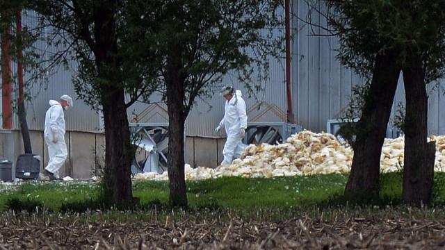 Vogelgrippe Vogelgrippe in USA