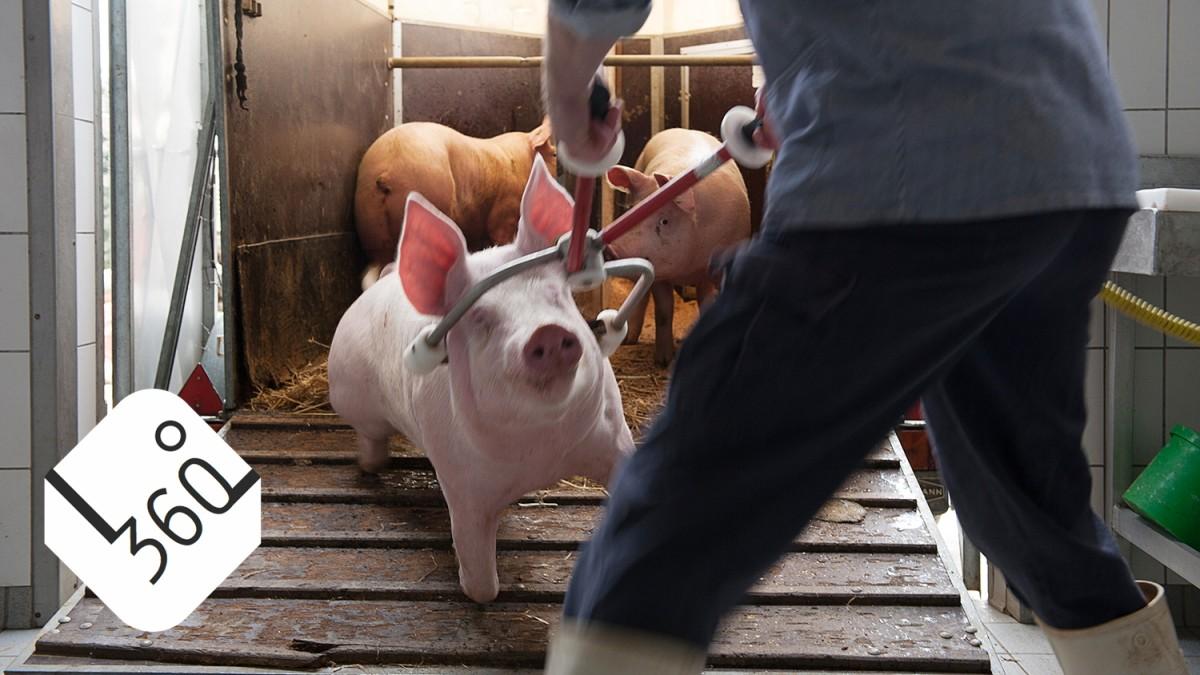 Warum wir Fleisch essen, aber das Schlachten verdrängen