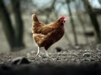 Artgerechte Hühnerhaltung auf dem Stanglhof in Olching, 2015