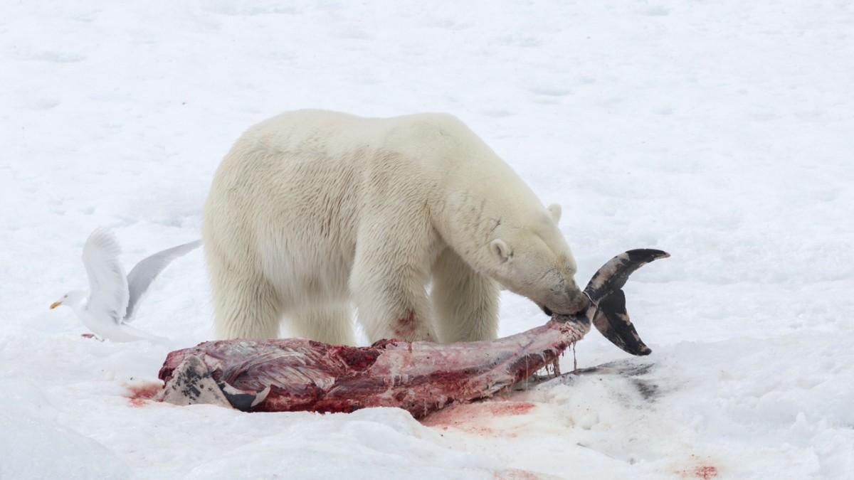 Eisbären jagen häufiger Delfine
