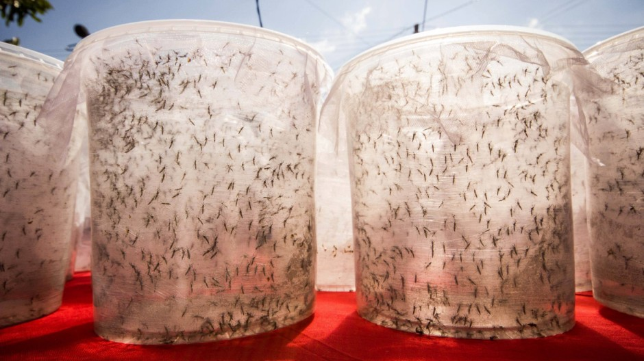 PIRACICABA SP 04 30 2015 RELEASE OF AEDES AEGYPTI THE WELL Aedes aegypti release of Good held