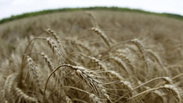 Stalks of wheat are seen on a field in Fundulea
