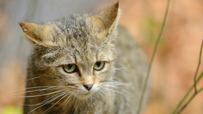 Kleine und große Katzen treiben sich im Unterholz herum - bis an die Münchner Stadtgrenze kommen sie noch nicht.