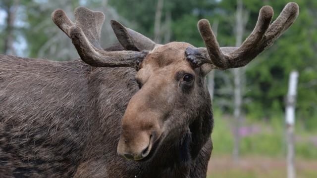 Elche gibt es nicht nur in Skandinavien und Kanada - auf der A 3 ist ein Tier mit einem Auto zusammengestoßen.
