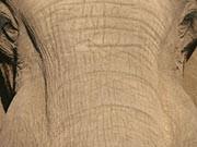 Elefant; Foto: iStock