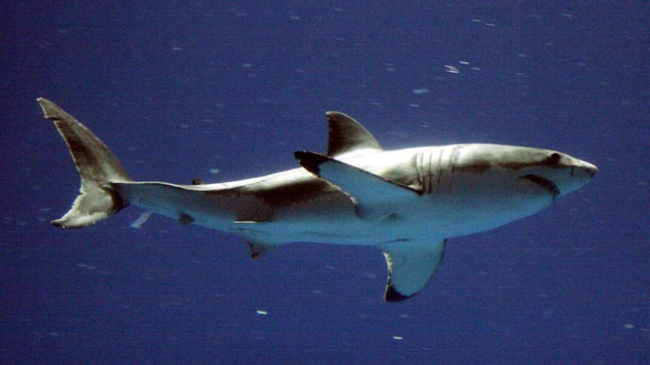 Haie Hai-Attacken nehmen zu