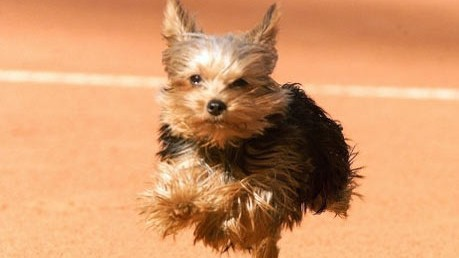 Haustiere In Der Wohnung Yorkshire Terrier Geht Durch Geld