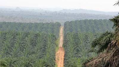 Palmöl Palmöl