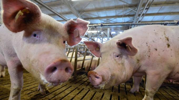 Ein Schwein ohne Ringelschwanz? Eigentlich unvorstellbar. In der Massentierhaltung gilt er jedoch als Hindernis und wird entfernt, obwohl das eigentlich verboten ist. Das soll sich ändern. (Foto: dpa)