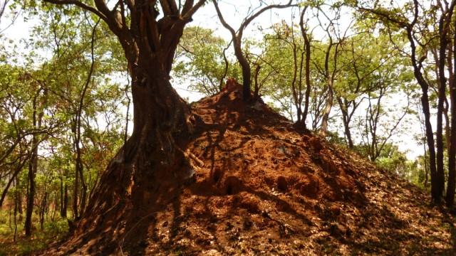 Termiten Ältester Termitenbau der Welt