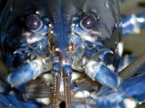 A European lobster (Hommarus gammarus) is pictured in a breeding station at the Alfred-Wegener institute on the German island of Heligoland
