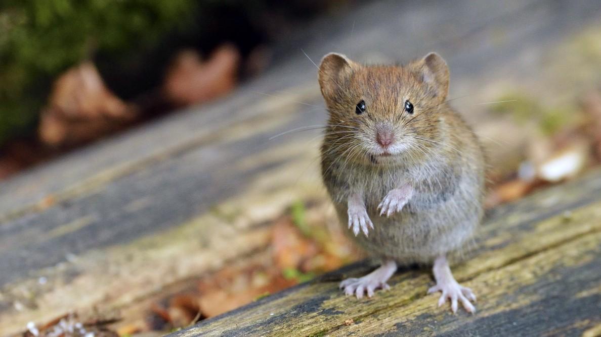 Ansteckungsgefahr Erreger Aus Dem Mäusedreck Gesundheit