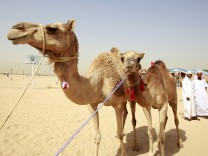 Camels are seen as spectators place their bids on them during the 'Camel Beauty Contest and Camel Race Festival' in Ajman