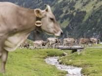 Kuh auf der Bergweide