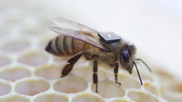 Biene mit Sender