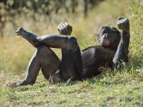 Bonobo male resting, Pan paniscus, native to Congo, DRC, Democratic Republic of the Congo