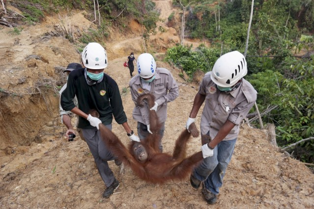 Local and government conservationists remove a rescued female orangutan who was found isolated in an palm oil plantation in Batang Serangan district, Langkat, North Sumatra province