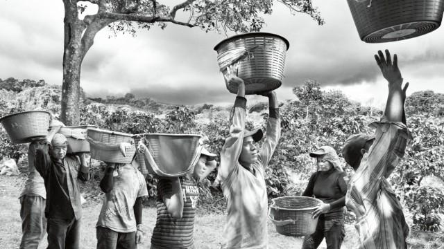 Ernte von Kaffeebohnen in der Provinz San José, Costa Rica.