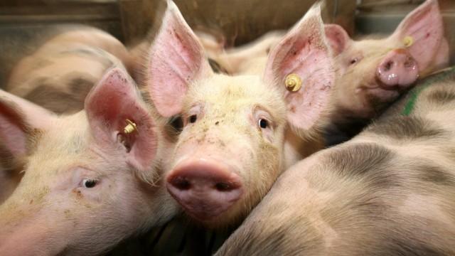 Rewe will mehr Tierschutz bei Schweinehaltung durchsetzen