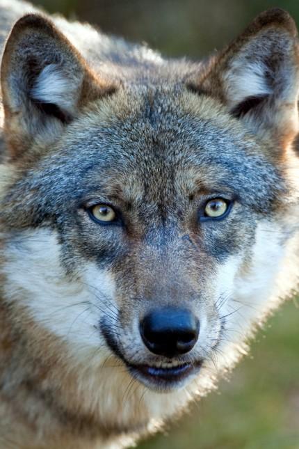 Wolf aus dem Freigelände im Nationalpark Bayerischer Wald