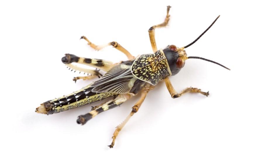 Grillen Insekten in England
