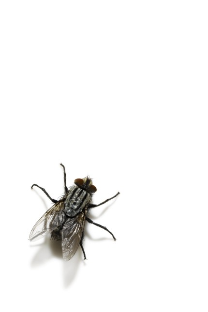 common housefly, overhead view
