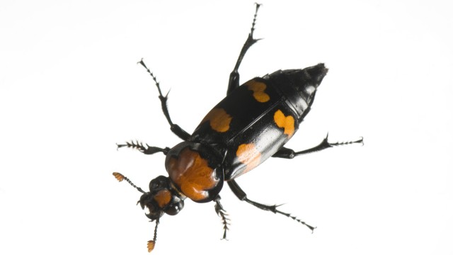 American burying beetle at the St. Louis Zoo's Monsanto Insectarium.