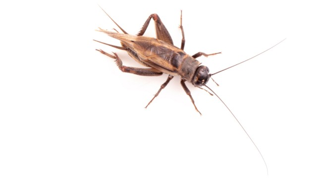 Portrait of a house cricket, Acheta domesticus, often bred as pets in Asia.