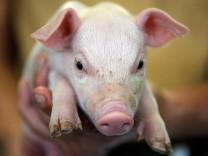 Schweinemast in Schleswig - Holstein