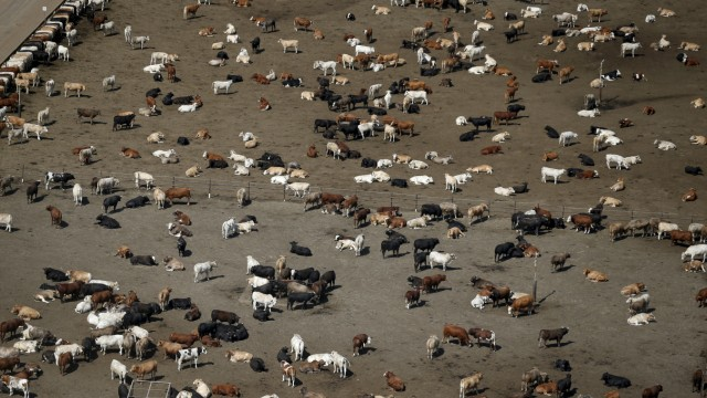 Cows are seen at Harris Cattle Ranch in Coalinga in the Central Valley