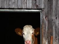 Kuh schaut aus dem Fenster
