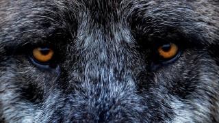 Wolf-Konferenz