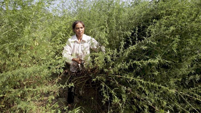 Ernte von Wermutkraut in China
