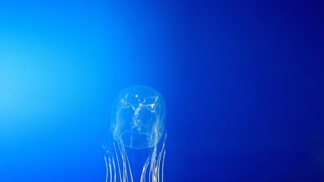 Würfelqualle - SeewespeChironex fleckeri