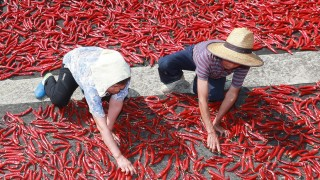 Sun-drying red peppers