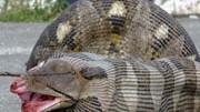 Pythonattacke erschreckt Familie